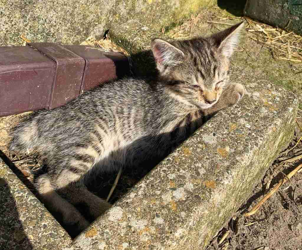 Manx kitten sleeping in the sun on the Isle of Man