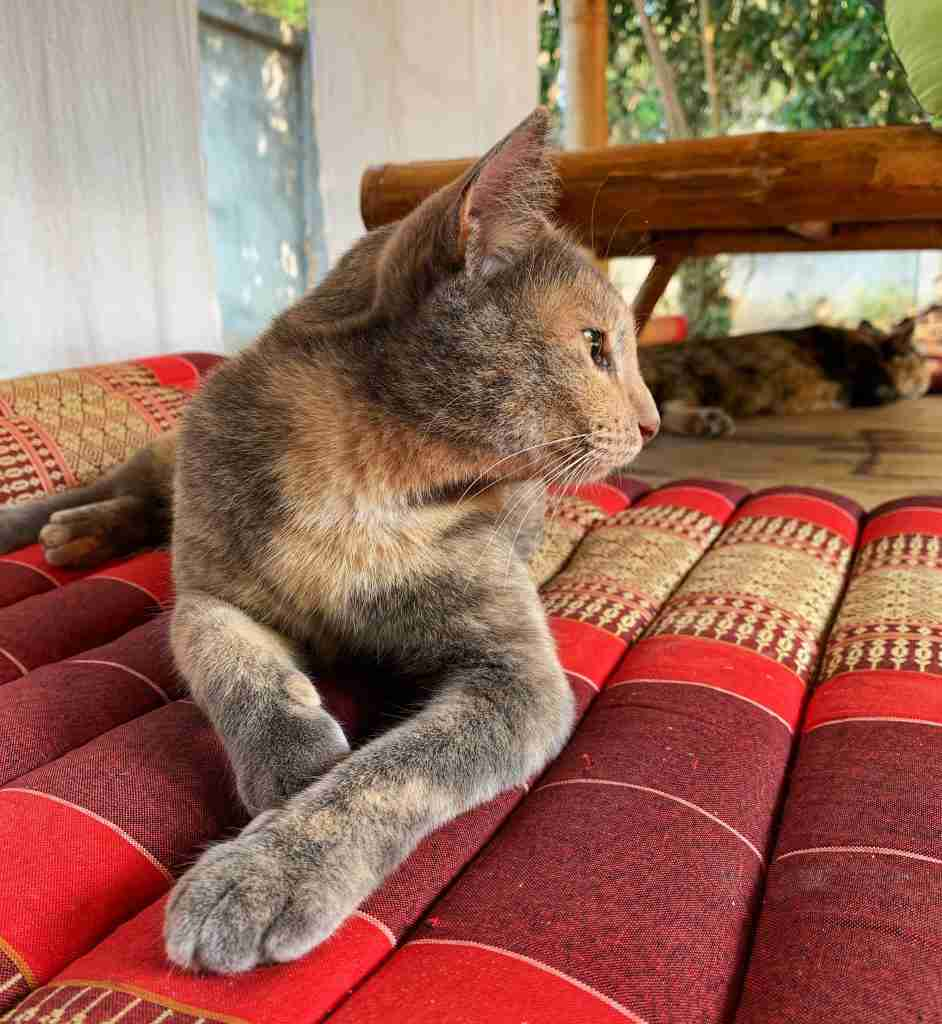 A grey and orange cat lying on a cushion in Thailand at a yoga retreat, named Pinky